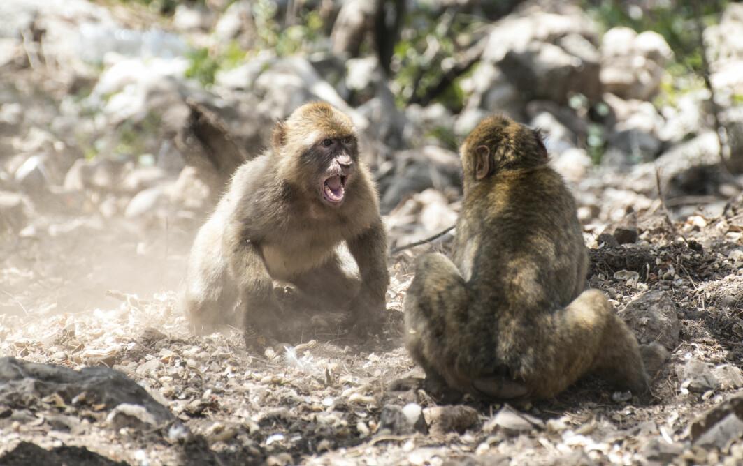 — Krig er når grupper av dyr går løs på hverandre fordi den andre gruppen hindrer dem i å leve livet sitt, forteller Petter Bøckman.
