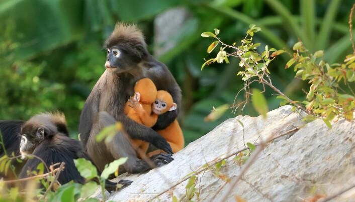 En langur-mamma må passe godt på barna sine om flokken tas over av en ny alfahann. Han aksepterer ikke andre barn enn sine egne.