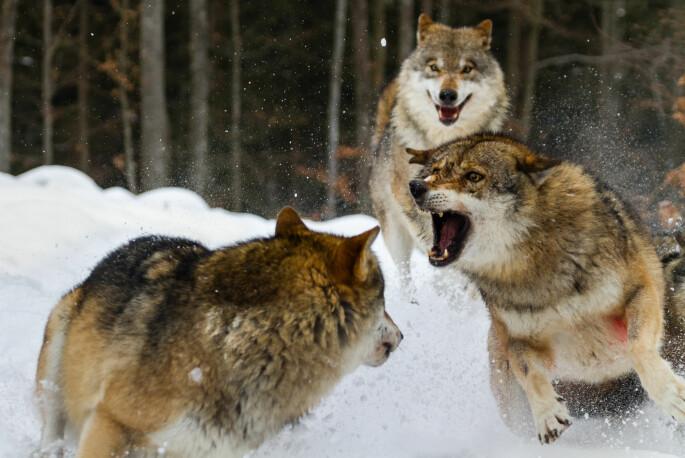 En enslig ulv som kommer inn på en annen ulveflokks territorium, vil bli forsøkt drept.