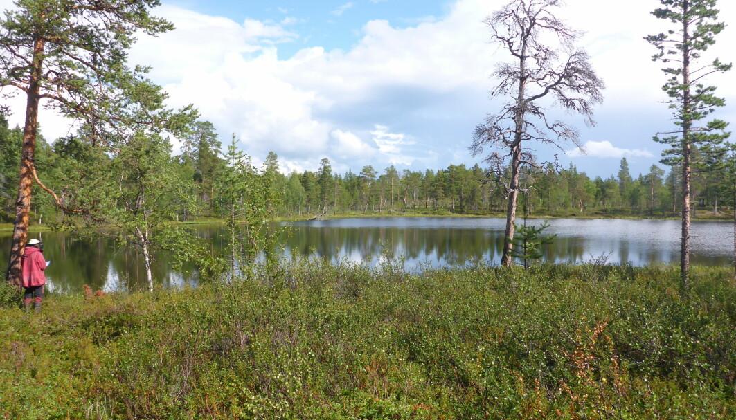 Inger Greve Alsos studerer dagens vegetasjon rundt Hortjernet i Pasvik, Finnmark.