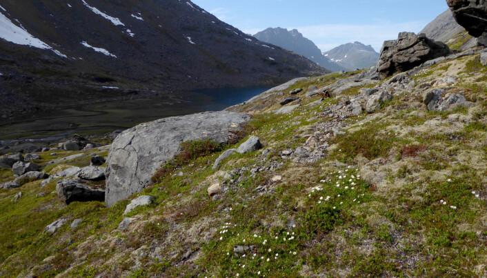 Reinrose var en av de første plantene som kom til Nord-Norge etter at isen trakk seg tilbake.