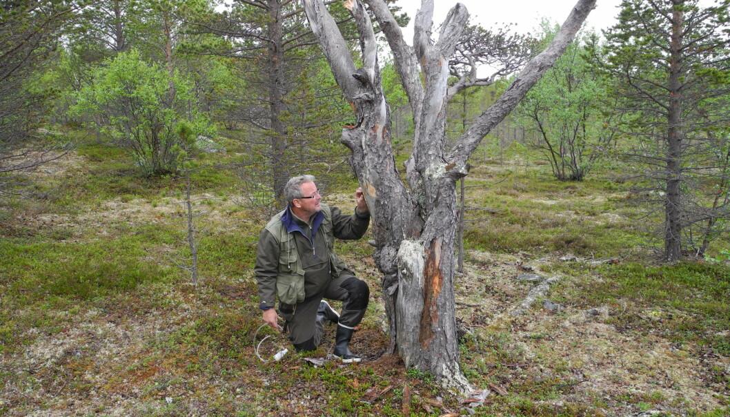 NIBIO-forsker Torstein Kvamme på jakt etter spennende barkbiller i Finnmark.