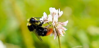 Nordisk klima øker skadelig effekt av plantevernmidler på humler