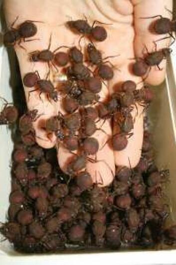 Disse bladskjærermaurdronningene er nettopp kommet tilbake etter sitt livs paring. Inni dem foregår en krig mellom sæd fra forskjellige hanner. (Foto: Boris Baer)