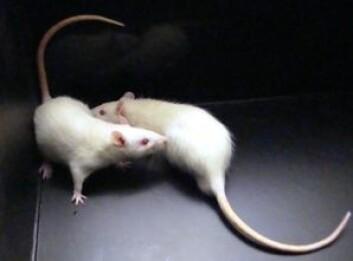 En stresset rotte, inntar lettere en underlegen posisjon i møte med en annen rotte. (Foto: Carmen Sandi)