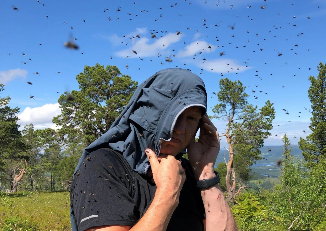Ja, noen steder er det mye svettefluer i år – som her i Melhus, Trøndelag, i juli 20221.