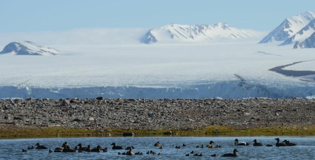 TILBAKE. Forskerne observerte store kull med de bakkehekkende fuglene ærfugl og hvitkinngås i Kongsfjorden på Svalbard i år, i motsetning til de tre foregående årene. På bildet svømmer en flokk ærfugler, både voksne og unger, ved Leirholmen.
