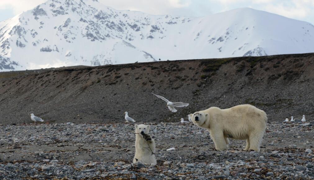 I FUGLENES RIKE. Isbjørn kan oppholde seg på fugleholmene i flere dager, og har de unger så springer og leker dem mellom reirene og bidrar ytterligere til å skremme fuglene.
