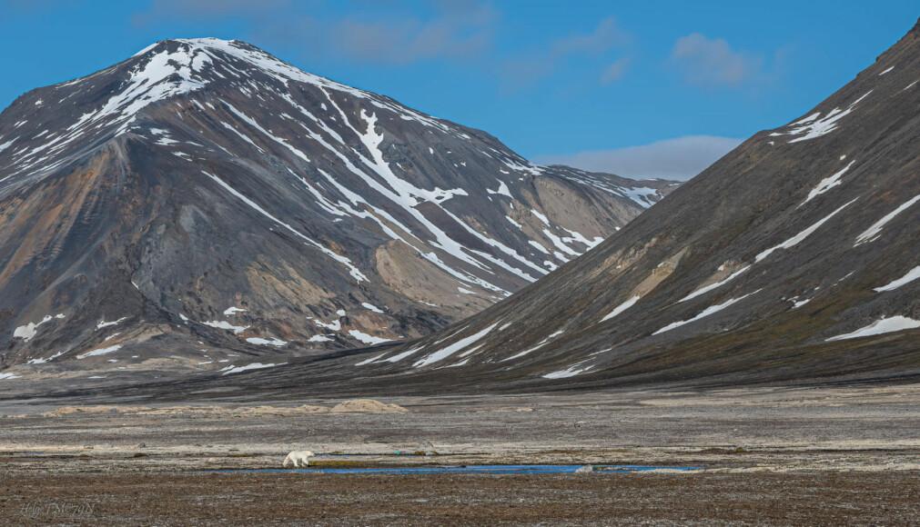 SØKER MER MOT LAND I dag trekker flere isbjørner enn tidligere til land på sommerstid for å finne mat.