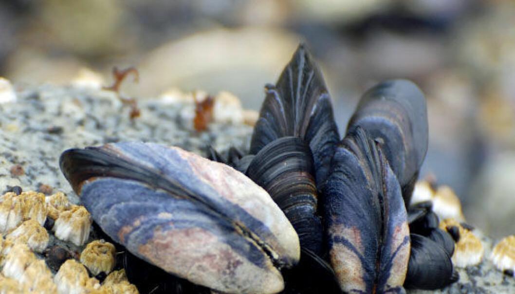 Mytilus californianus, en slektning av blåskjell fra Stillehavet. (Foto: iStockphoto)