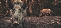Villsvin skader klimaet mer enn en million biler, viser modeller
