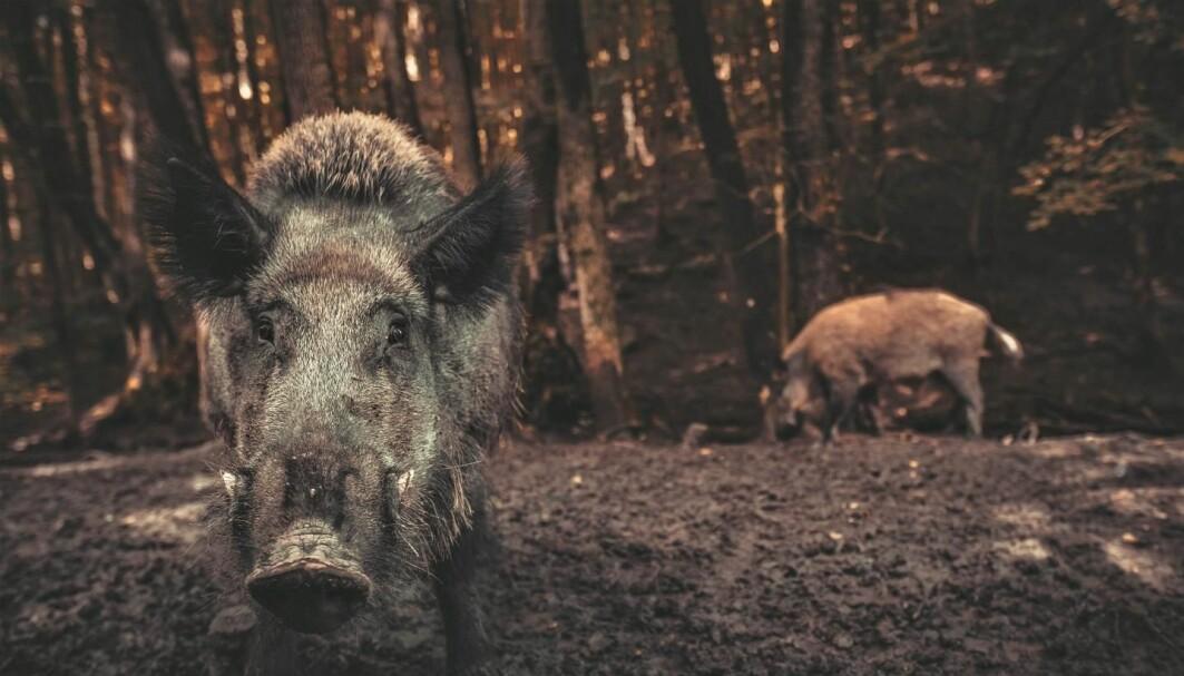 Villsvin er en uønsket art i Norge. De er en trussel mot svineproduksjonen dersom de har svinepest, og de bidrar til utslipp av klimagassen CO2.