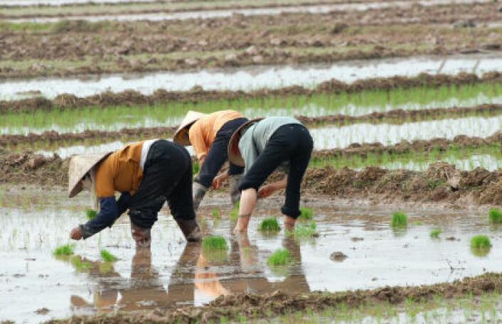 Kinesiske risbønder