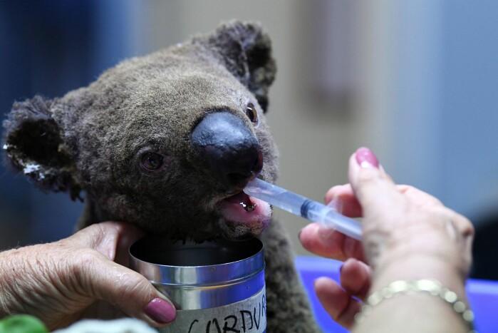 Skogbrannene i Australia gikk hardt ut over dyrelivet. Her får en koala vann og hjelp.
