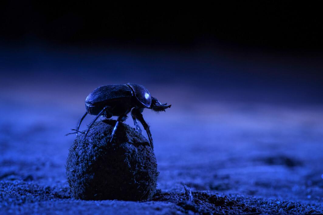 Her sitter en møkkabille på toppen av klumpen sin. Kanskje den prøver å finne veien hjem?