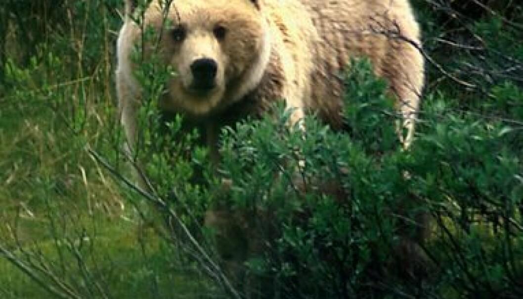Nytt liv i bjørnehiet