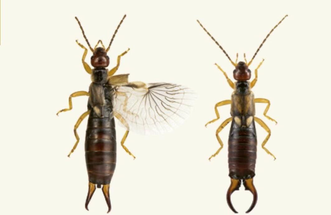 Til venstre ser du en saksedyr-hunn med ganske rett saks med en liten krok på, og ene vingen foldet ut. Til høyre ser du en hann med mer krokete saks.