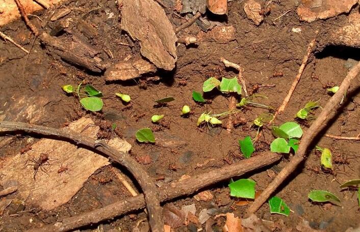 Bladskjærmaur-arbeidere bærer blader under bakken, hvor de bruker dem som gjødsel for sin egen sopphage. Maurene spiser soppen, ikke bladene. (Foto: STRI)
