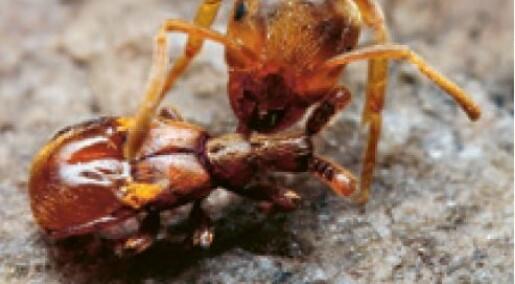 Blind bille holder maur som slaver med narkotisk stoff