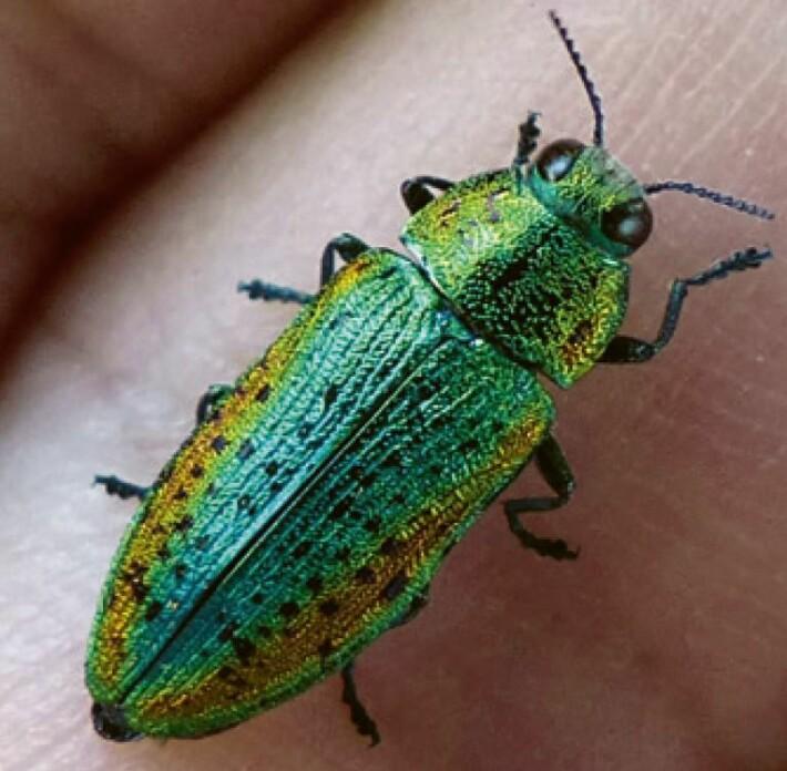 Mange biller er brune eller svarte. Men lindepraktbillen har reneste festskruden med sin blå, grønne og gule drakt.