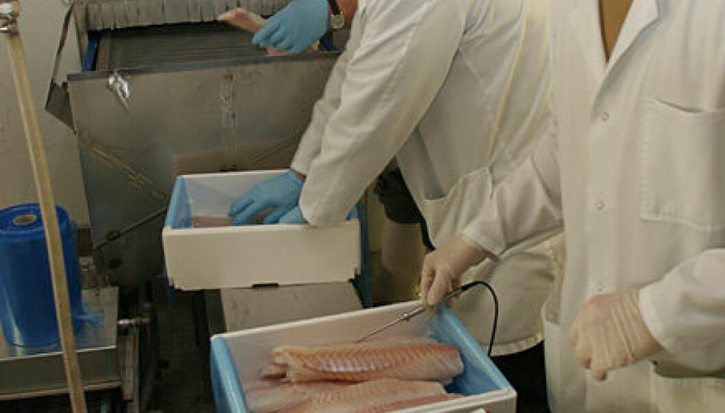 """""""Produksjon av superkjølt filet ved Aker Seafoods anlegg i Hammerfest. Forsker Torbjørn Tobiassen (nærmest) registrerer og loggfører temperatur i fileten."""""""