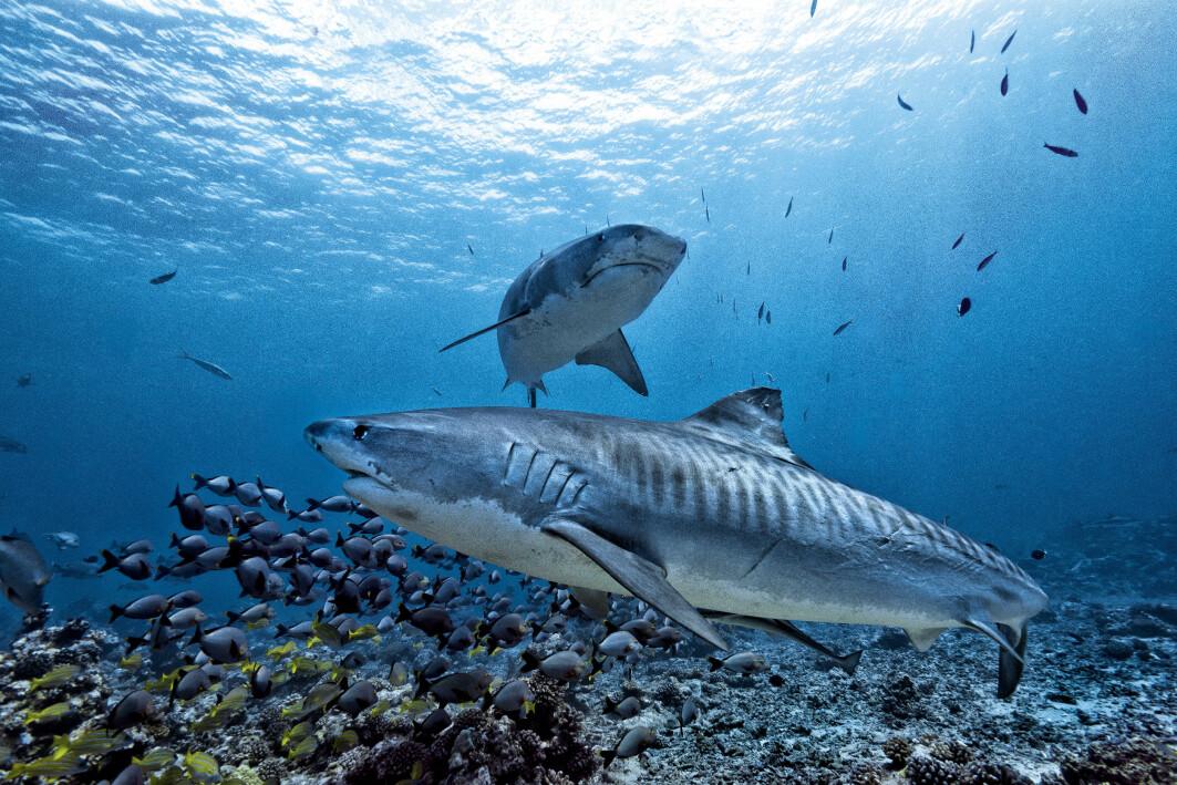 En ny studie indikerer at haier fordeler maten mellom seg og drar på jakt på ulike tidspunkt på dagen.