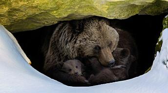 Hvordan sover bjørner når de ikke er i hi?