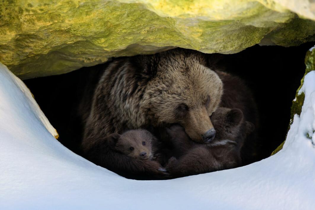 Brunbjørner (Ursus arctos) er uthvilte og klare til å lete etter mat når de våkner etter seks måneder i vinterhi. Men gjør det at de ikke trenger å sove om sommeren?
