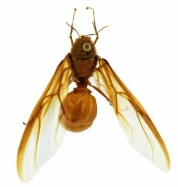 Intens konkurranse mellom hannene blant Atta-maurene fortsetter selv etter at parringen har funnet sted. (Foto: Miriam Arrueta, STRI)