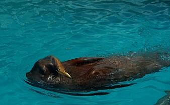 Verdenskjent hvalross klapper under vann – men hvorfor?