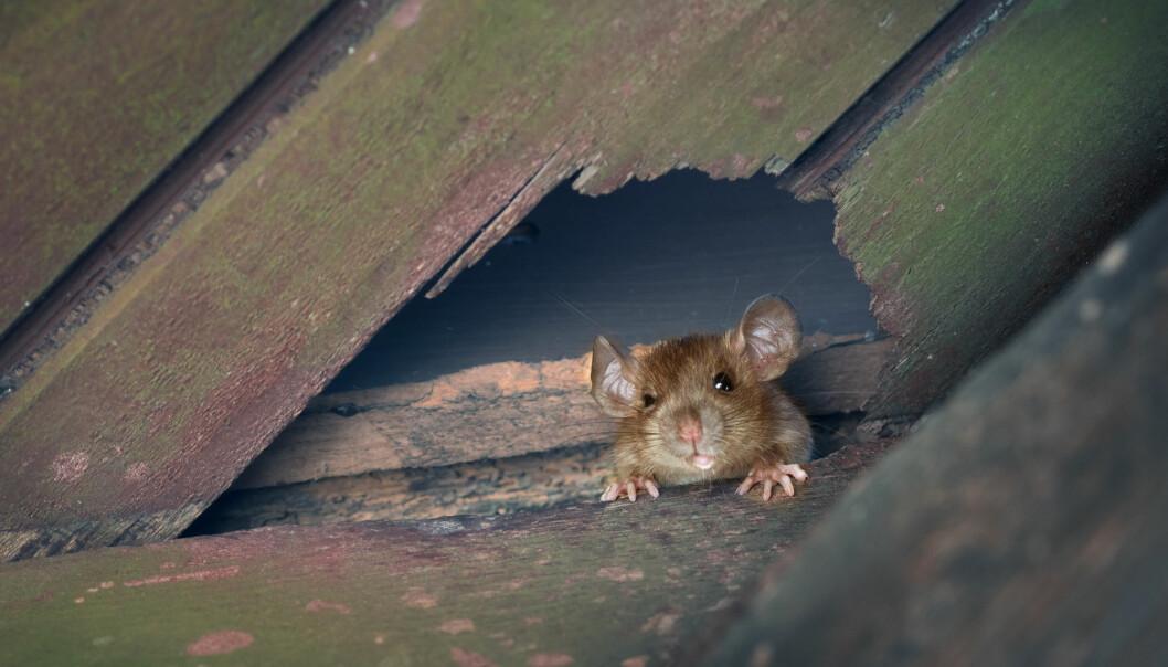 Rotter var opprinnelig ikke utbredt i Europa. Nå er de over alt - og noen steder gjør de stor skade.