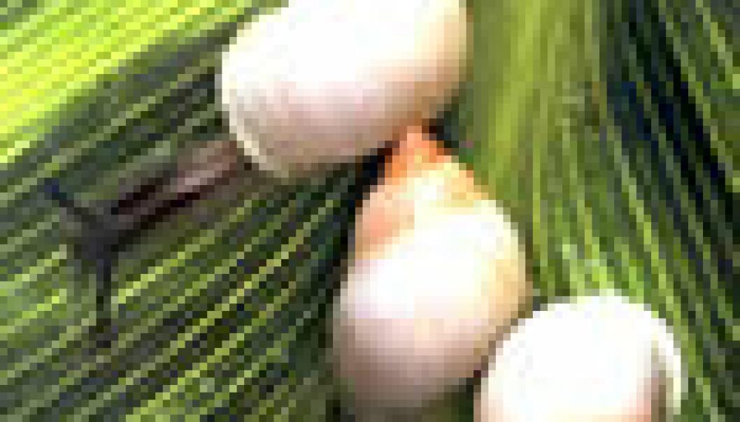 """""""Den polynesiske tresneglen - partulasneglen - er ombord i den frosne arken. (Foto: Natural History Museum London)"""""""