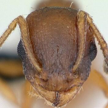 """""""Hva skjer i hodet på mauren Temnothorax unifasciatus? (Foto: April Nobile/ www.antweb.or /Wikimedia Commons. Se lisens)"""""""