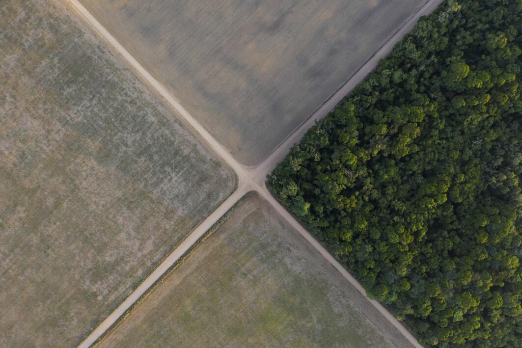 Regnskogen i Brasil må vike blant annet for 200 millioner kveg som skal ha beiteområder.