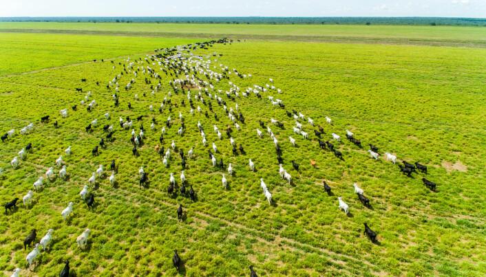 Kvegene i Brasil krever enorme beiteområder.