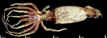 """""""Dette døde eksemplaret av en kjempeblekksprut er for en småtass å regne - bare 4 meter lang. (Foto: NASA)"""""""
