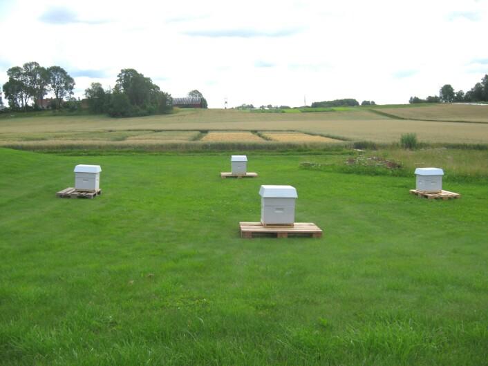 Denne arenaen brukte forskerne for å teste om biene husket hvor de bodde når de kom hjem fra honningsankingen sin. (Foto: Nicholas Baker)