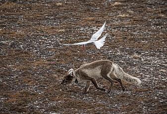 Fugler gikk til angrep mot sulten rev