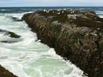 """""""Klipper med stor formasjoner av muslinger og andre typer skalldyr bli et sjeldent syn i framtiden, frykter forskerne. Bortfallet av skalldyrene kan også få stor betydning videre oppover i næringskjeden. (Foto:J.T. Wootton)"""""""