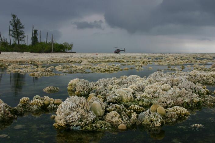 Disse korallene døde da de ble hevet over vannet under et jordskjelv som målte 8,4 på Richters skala i 2007. (Foto: Science)