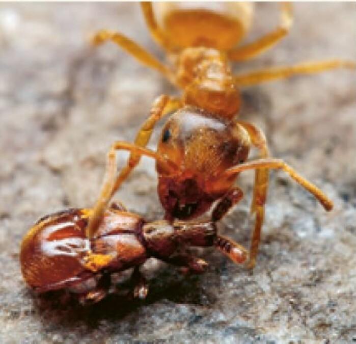 En blind køllebille som blir passet på av en maur.