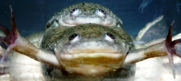 """""""To genetiske hanner parer seg. Inoen tilfeller kan de få avkom sammen. Den underste frosken kan på grunn av en hormonell ubalanse, produsere levedyktige egg.(Foto:Tyrone Hayes)"""""""