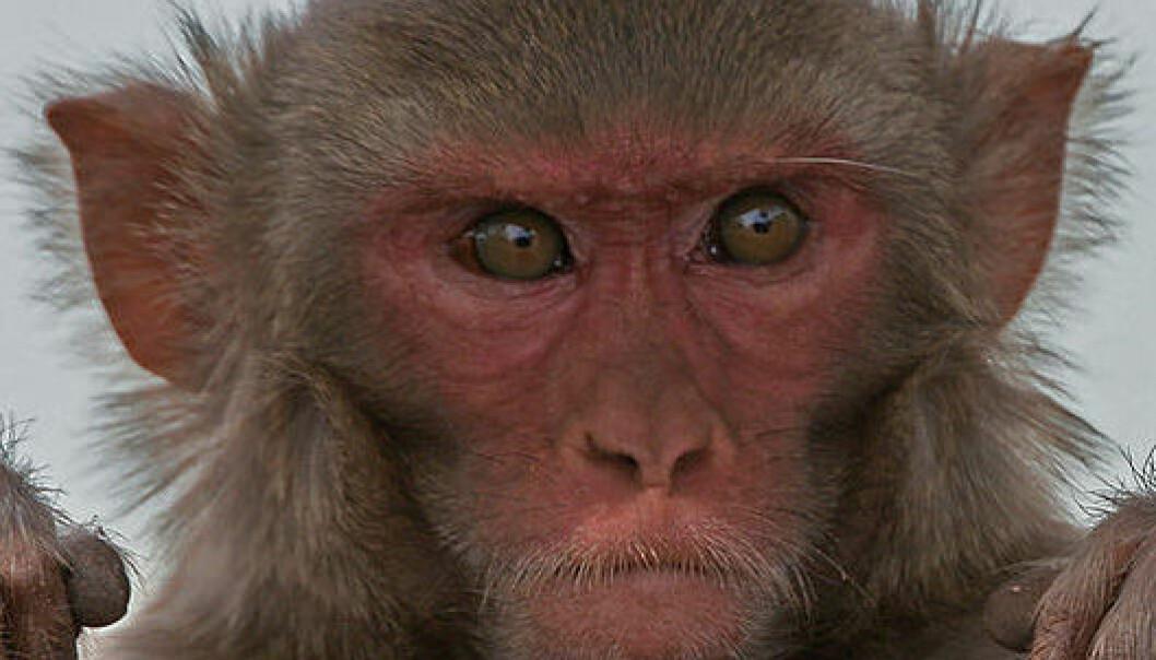 Fulle aper får hjerneskader