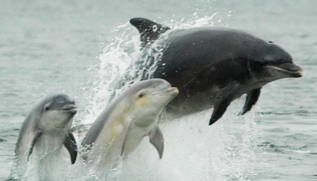 Voksen tumler med to unger. Dette blidet ble tatt i Skottland i 2005. (Foto: Peter Asprey,
