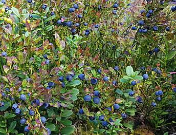 Kva skal til for (ikkje) å få blåbærbonanza?
