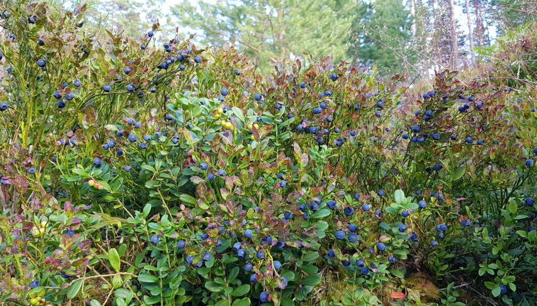 Blåbærbonanza, slik vi drøymer om den! Slike år kjem heldigvis ganske ofte og mange stader i vårt vidstrekte, varierte land her mot nord. (Foto. S. J. Hegland)