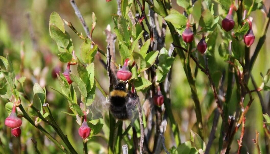 Humlene trumfar dei fleste andre insekt med ferda si frå blomster til blomster. Med sine vibrerande og hårete kroppar er dei livsviktige for blåbærhausten. (Foto. S.J. Hegland)