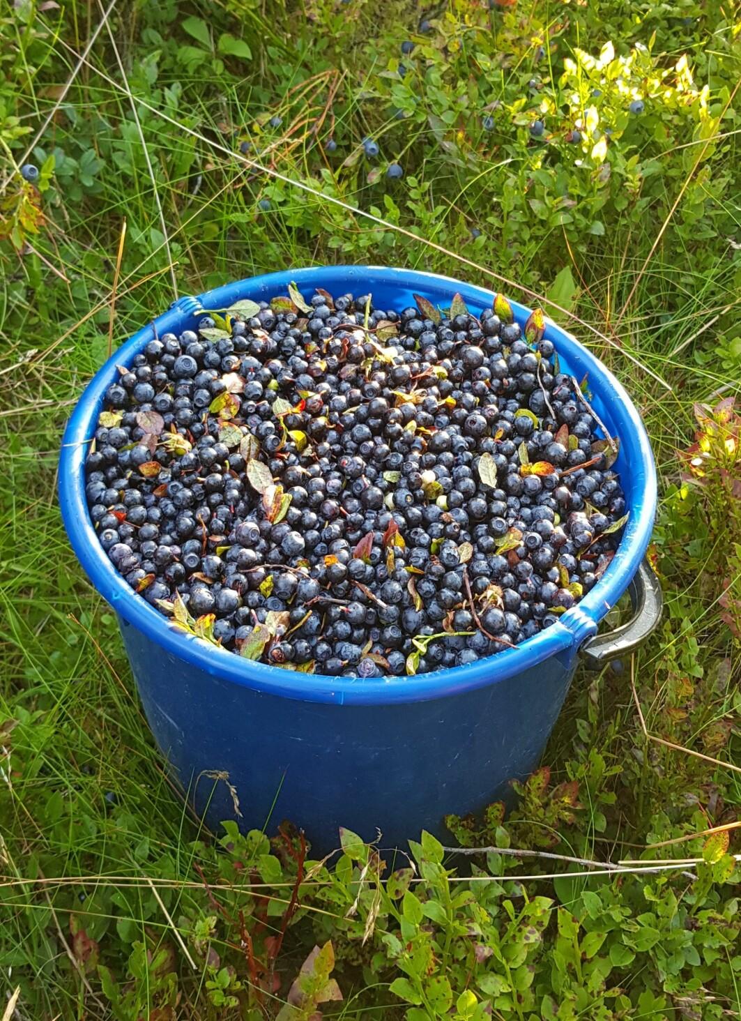 Det tok litt over ein halvtime å fylle denne 10-litersbøtta på Kaupanger i Sogn. Det er vel eit teikn på blåbærbonanza? (Foto: S. J. Hegland)