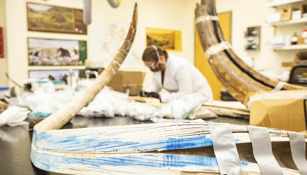 Bildet viser støttannen som er delt på langs. Hvert av lagene kan fortelle forskerne noe om livet til mammuten.