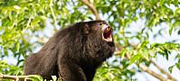 Har denne apen samme måte å navigere verden på som mennesker?